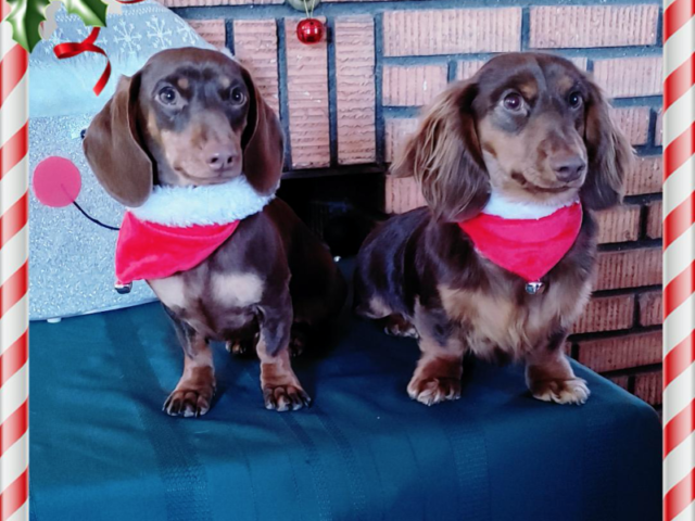 Merry Christmas from Beau(SH) & Sunny(LH) from Estavan Sask, Canada